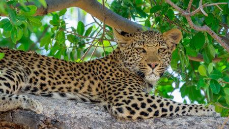 Leopard lies on the tree and looks at us Standard-Bild