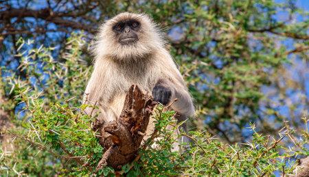 a monkey in an acacia bush Standard-Bild