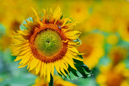 The blossom of a sunflower with blurred background
