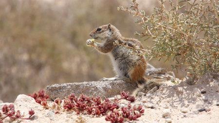 An atlas squirrel in the Canary Islands Standard-Bild