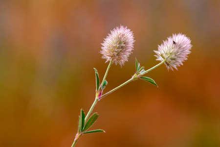 Macro shot of a clover flower