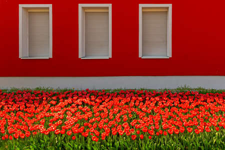 tulips in front of a red house