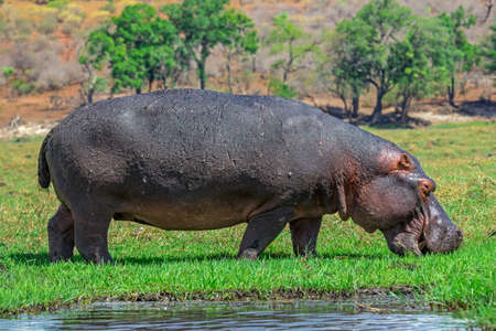 Hippopotamus on the meadow Standard-Bild