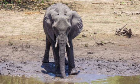 Young elephant by the water