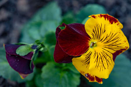 yellow red pansy Standard-Bild