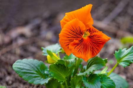 Orange pansy Standard-Bild
