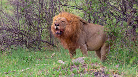 lion marks its territory Standard-Bild