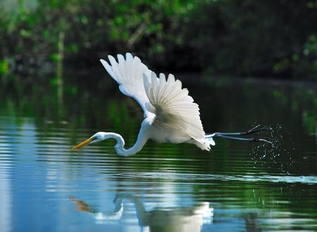 a egret playing in the water