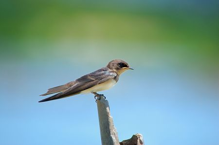 Swallow sitting on edge of the roof. photo