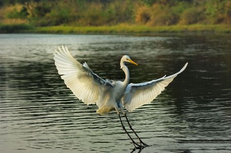 Heron playing in the water photo