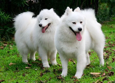 named: The dog named Samoyed,The white hair and the black eyes,gazing the front smartly.