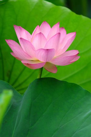 blooming lotus flower over green background. photo