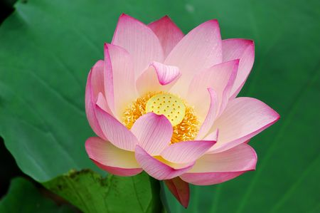 Charming lotus bloom in the pond.  photo