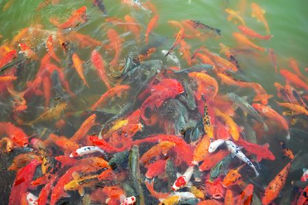 Red and gold fishes over water golden(See more gold fishes in my portfolio).  photo
