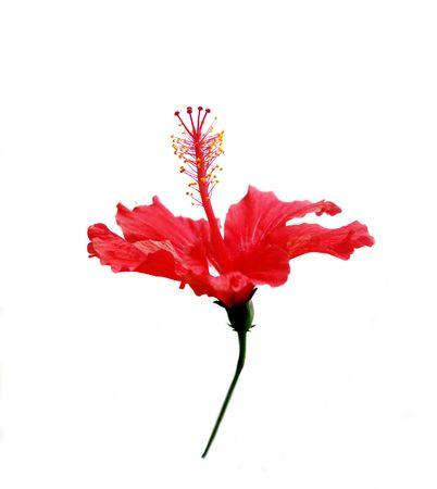 Closeup of Chinese Hibisci Rosae-Sinensis Flower  photo