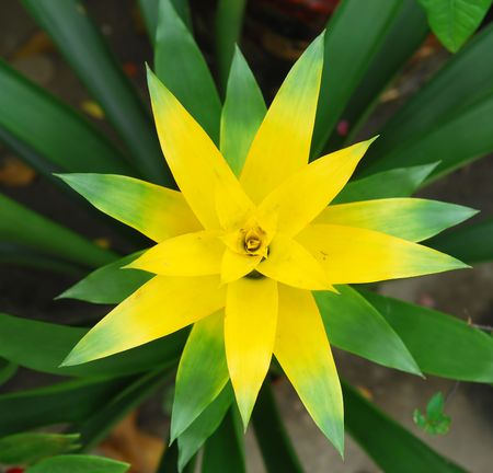 bromeliad: Close up of Guzmania x magnifica flower  Stock Photo