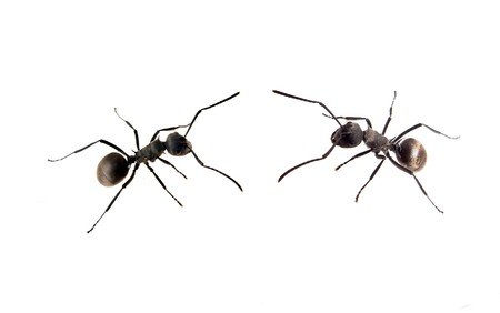 small fighting ant  Stock Photo - 7528708