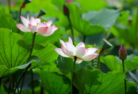 beatiful pink lotus  Stock Photo - 7658582