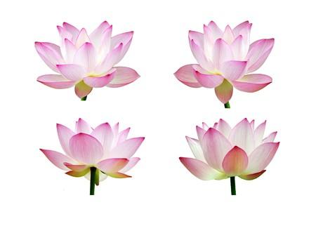 Charming lotus bloom