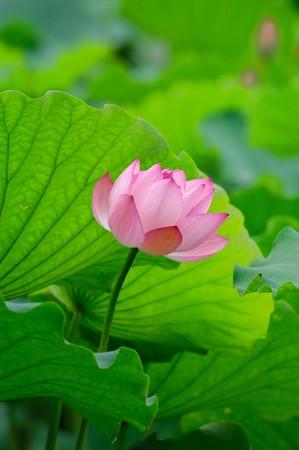 beatiful: Close-up of beatiful pink lotus
