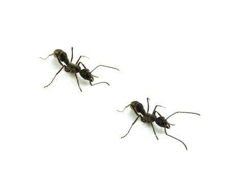 Ant isolated on white photo