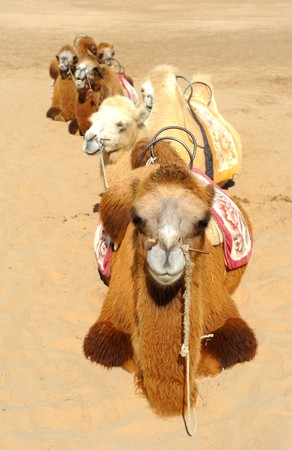 extreme heat: camels in the desert
