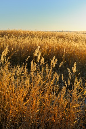 reed stalks in the swamp against sunlight. Stock Photo - 8272424