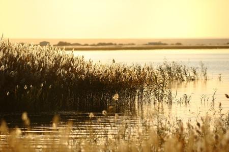 riet stengels in het moeras tegen zonlicht.