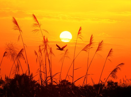 marsh plant: bulrushes against sunlight over sky background in sunset with a flighting bird  Stock Photo
