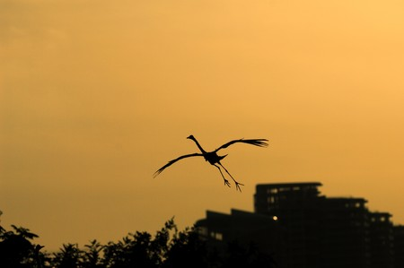 egret play in sunset  photo