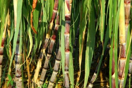 Sugarcane field photo