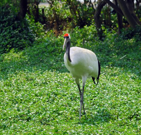 gree: cranes with gree grass colors in the background