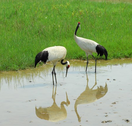 crowned: cranes with gree grass colors in the background