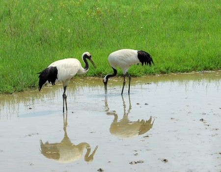 cranes with gree grass colors in the background  photo