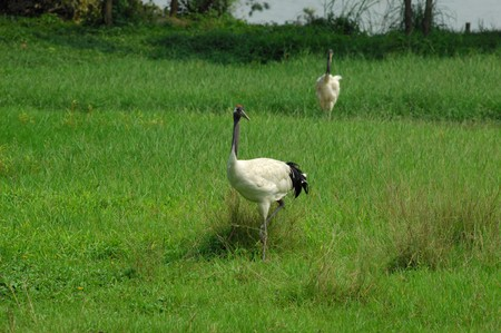 crane with gree grass colors in the background  photo