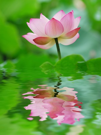stalk flowers: lotus flower
