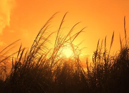 bulrushes: The bulrushes against sunlight over sky background in sunset