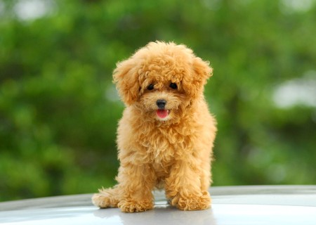 small brown toy poodle  Stock Photo