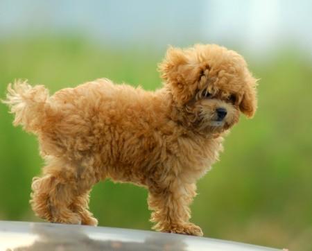 cordialit�: sparare piccole marrone giocattolo poodle  Archivio Fotografico
