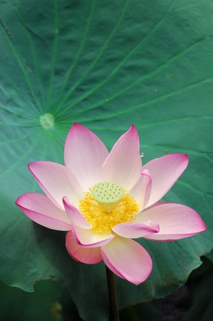 Close up shot of pink lotus.Look at my gallery for more lotus. photo