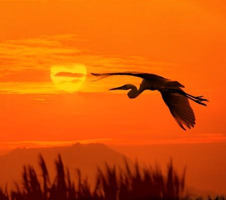 aigrettes jouent au coucher du soleil  Banque d'images