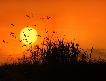bulrushes: bulrushes against sunlight over sky background in sunset with a flighting bird  Stock Photo