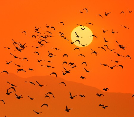 migrating animal: Birds flying above the sunset Stock Photo