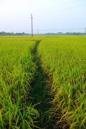 rice field and drops  photo