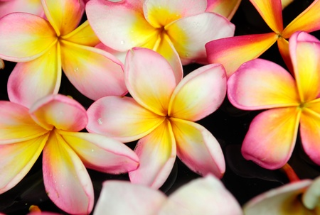frangipani or plumeria tropical flower 