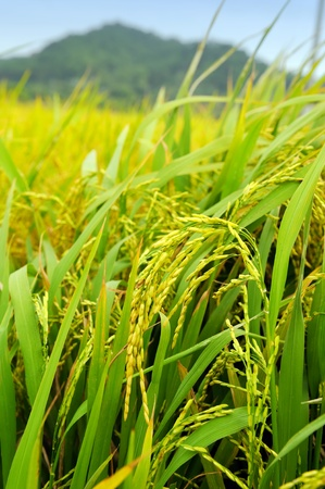 shot of rice field and drops  photo