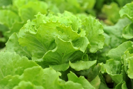 healthy lettuce growing in the soil   photo
