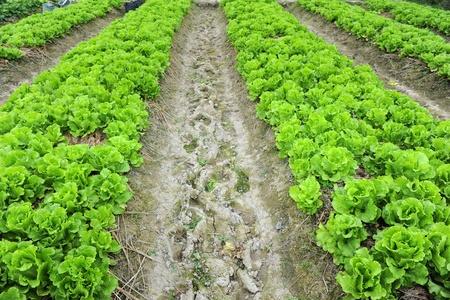 lechuga: lechuga saludable crecimiento en el suelo
