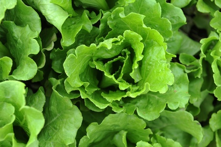 healthy lettuce growing in the soil Stock Photo - 8341538