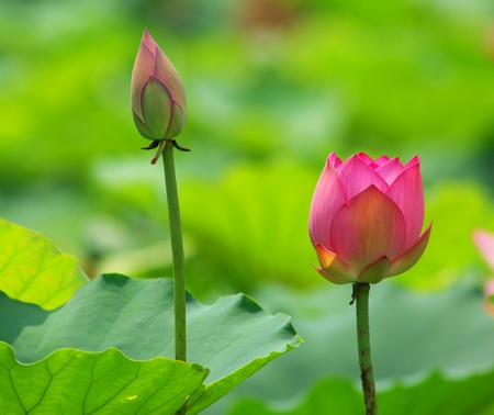 lotus flower Stock Photo - 9813223